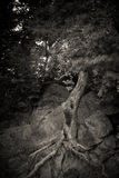 Ghost Tree in nature Royalty Free Stock Photography