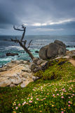 The Ghost Tree and the Pacific Ocean  Stock Image