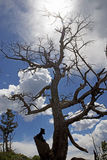 Ghost trees of Yellowstone against a blue sky. Stock Image