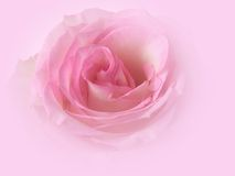 Ghostly Rose. Ghostly faded pink rose petals in this picture Royalty Free Stock Photography