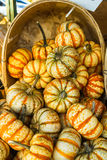 Ghostrider Squash. Or winter squash on a bushel Royalty Free Stock Images