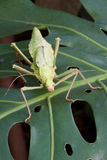 Ghosts grasshopper from the front Royalty Free Stock Photo