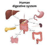 GI tract organs. The location of the gastrointestinal tract in the body, the human digestive system Stock Photography