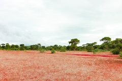 Gia Lai, Vietnam - 24 novembre 2018 : Paysage Dak Doa, herbe rose fleurissant en Gia Lai, Vietnam image libre de droits