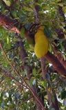 Giaca su Jack Tree - artocarpus heterophyllus Immagine Stock