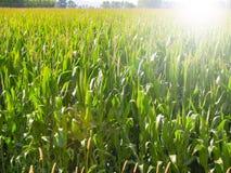 Giacimenti del mais, il raccolto dell'ubriacone di verde lungo Immagini Stock