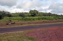 Giacimenti del mais in Tanzania Fotografia Stock