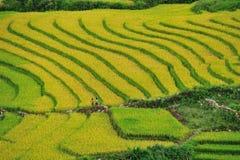 Giacimenti del riso Fotografia Stock Libera da Diritti