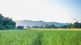 Giacimenti del riso Fotografie Stock Libere da Diritti