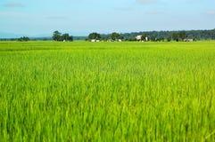 Giacimenti del riso Fotografia Stock