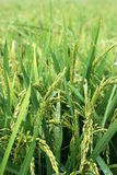 Giacimenti del riso Fotografie Stock