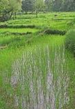 Giacimenti del riso & coltura verdi fertili della risaia immagine stock libera da diritti