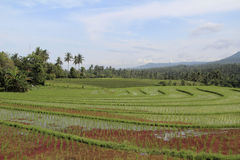 Giacimenti del riso in Bali Immagine Stock Libera da Diritti