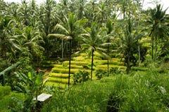 Giacimenti del riso in Bali Fotografie Stock Libere da Diritti