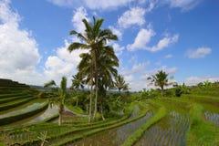 Giacimenti del riso in Bali, Indonesia Immagini Stock Libere da Diritti