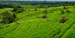 Giacimenti del riso del Bali Fotografie Stock