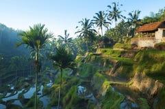 Giacimenti del riso del terrazzo Fotografia Stock