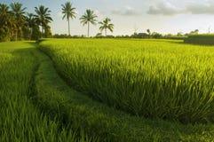 Giacimenti del riso del terrazzo Immagini Stock Libere da Diritti