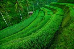 Giacimenti del riso del terrazzo Fotografie Stock Libere da Diritti