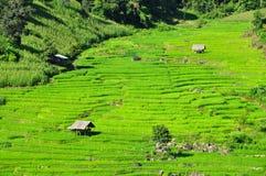 Giacimenti del riso del terrazzo Fotografia Stock Libera da Diritti