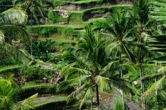 Giacimenti del riso del terrazzo su Bali, Indonesia Immagine Stock Libera da Diritti