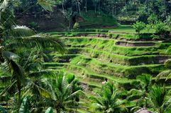 Giacimenti del riso del terrazzo su Bali, Indonesia Fotografie Stock