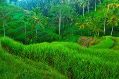 Giacimenti del riso del terrazzo sull'isola del Bali. Immagine Stock