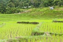 Giacimenti del riso del terrazzo in Tailandia. Immagine Stock Libera da Diritti