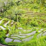 Giacimenti del riso di Balinese fotografia stock