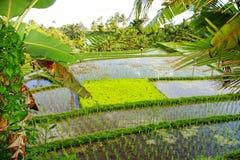 Giacimenti del riso di Balinese immagine stock
