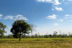 Giacimenti del riso dopo il raccolto Fotografia Stock Libera da Diritti