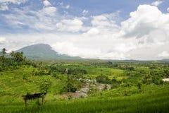 Giacimenti del riso e voulcan sui precedenti Fotografia Stock