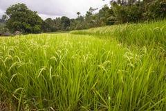 Giacimenti del riso in Indonesia Fotografia Stock Libera da Diritti