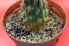Giacimenti del sale sul suolo in un vaso di fiore Risultato delle piante di innaffiatura improprie Fotografia Stock