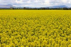 Giacimenti del seme di ravizzone Fotografia Stock