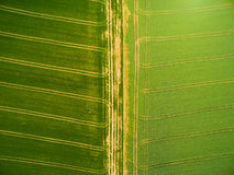 Giacimenti del seme di ravizzone e del grano con le piste del trattore fotografie stock libere da diritti