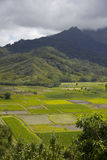 Giacimenti del taro alla valle di Hanalei, Kauai, Hawai Immagini Stock