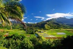Giacimenti del taro in bella valle di Hanalei Fotografia Stock Libera da Diritti