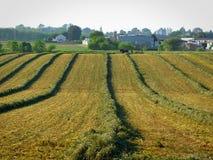 Giacimenti dell'alfalfa che sono raccolti da un uomo di Amish e da un gruppo dei cavalli fotografia stock