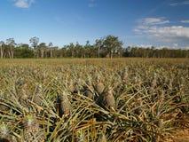 Giacimenti dell'ananas all'azienda agricola dell'ananas Immagine Stock Libera da Diritti