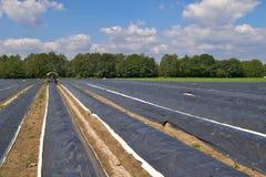 Giacimenti dell'asparago Fotografia Stock Libera da Diritti