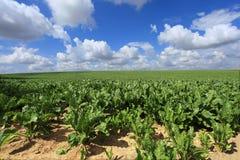 Giacimenti della barbabietola da zucchero nel sole di estate Immagini Stock