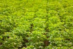 Giacimenti della patata. Prodotto naturale. Azienda agricola. Immagini Stock