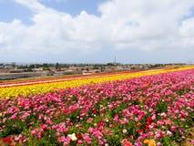 Giacimenti di fiore annuali della molla allo sbocco di acquisto di Carlsbad Immagine Stock Libera da Diritti