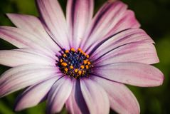 Giacimenti di fiore a Carlsbad Fotografie Stock