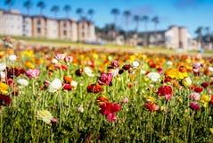 Giacimenti di fiore a Carlsbad Immagine Stock