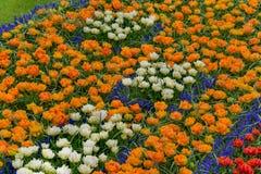 Giacimenti di fiore in fioritura Variopinto tulpen, narzissen nei giardini di Keukenhof Immagini Stock