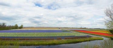 Giacimenti di fiore nei Paesi Bassi Fotografia Stock Libera da Diritti