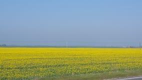 Giacimenti di fiori gialli Fotografia Stock