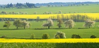 Giacimenti di fioritura del seme di ravizzone in Germania Immagine Stock